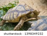 Stock photo the african spurred tortoise centrochelys sulcata also called the sulcata tortoise is a species 1398349232