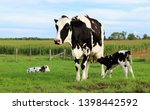 Black And White Holstein Cow...
