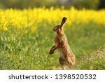 Stock photo wild european hare lepus europaeus close up on green background 1398520532