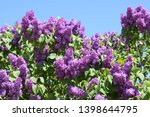 Flowers Blooming Lilac....