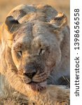 Portrait Of A Big Lioness With...