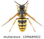 Vespula vulgaris  known as the...