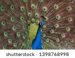 indian peafowl  pavo cristatus  ... | Shutterstock . vector #1398768998