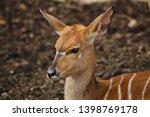 nyala  tragelaphus angasii .... | Shutterstock . vector #1398769178