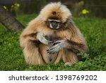 lar gibbon  hylobates lar  ... | Shutterstock . vector #1398769202