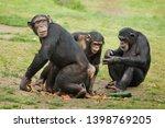 common chimpanzee  pan... | Shutterstock . vector #1398769205