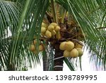 ivory coconut species  which... | Shutterstock . vector #1398789995