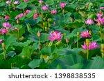 blooming lotus flowers in the...   Shutterstock . vector #1398838535