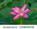 blooming lotus flowers in the...   Shutterstock . vector #1398838538