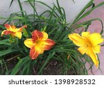 Close View Of Three Day Lilies...