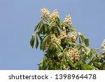 sweet chestnut or castanea... | Shutterstock . vector #1398964478