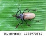 giant fijian longhorn beetle... | Shutterstock . vector #1398970562