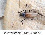 giant fijian longhorn beetle... | Shutterstock . vector #1398970568