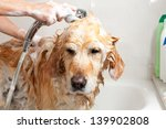 Stock photo a dog taking a shower with soap and water 139902808