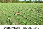 Stock photo wild hare is running on green field at sunset time 1399073312