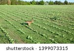 Stock photo wild hare is running on green field at sunset time 1399073315