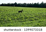 Stock photo wild hare is running on green field at sunset time 1399073318
