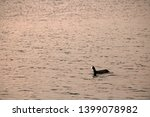 Coot Swimming On The Water In A ...