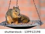 Young Fox Squirrel  Sciurus...