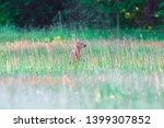 roe deer grazing in spring...   Shutterstock . vector #1399307852