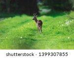 roebuck on forest pathway in...   Shutterstock . vector #1399307855