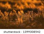 field with tall grass in golden ...   Shutterstock . vector #1399308542