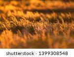 field with tall grass in golden ...   Shutterstock . vector #1399308548