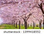cherry blossom trees chikuma... | Shutterstock . vector #1399418552