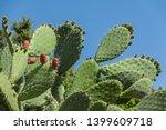 opuntia cactus  ficus indica... | Shutterstock . vector #1399609718