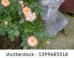Delicate Pink Tea Roses In...