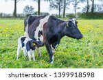 Mother Cow With Newborn Calf ...