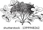 this is a picture of hydrangea... | Shutterstock .eps vector #1399948262