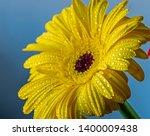 gerbera jamesonii is a species... | Shutterstock . vector #1400009438