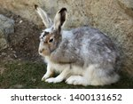 Stock photo mountain hare lepus timidus also known as the white hare 1400131652