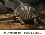 Stock photo radiated tortoise astrochelys radiata wildlife animal 1400131892