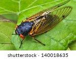 17 Year Periodical Cicadas...