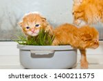 Stock photo red newborn kittens sitting in a bowl on a white table little blind pets close up cat mom picks 1400211575