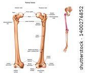 the femur or thigh bone with... | Shutterstock .eps vector #1400276852