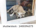 Cute Old Labrador Dog Wait...