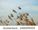 Plumes Of Rushes In The Wind
