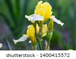 Yellow Iris Flower. On A Green...