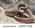 Red Diamond Rattlesnake ...