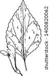 a picture shows the s. serrata... | Shutterstock .eps vector #1400820062