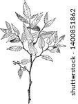 a picture shows zelkova serrata ... | Shutterstock .eps vector #1400851862