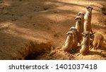Group Of Funny Meerkats ...