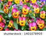 Beautiful Colorful Pansies In...