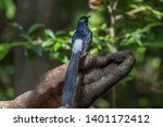 white rumped shama on branch in ... | Shutterstock . vector #1401172412