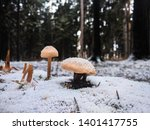 Wild Mushroom Under The Snow