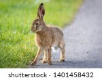 Stock photo wild hare beautiful close up in evening sun stunning detail of the brown hare lepus europaeus 1401458432