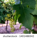 vineyard leaf with the first... | Shutterstock . vector #1401488342